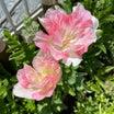 クールダウンピンク効果でコロナ禍も心穏やかストレス軽減のお庭