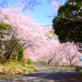 【広島帰省】桜指数MAX野呂山でお花見&猪肉を食す