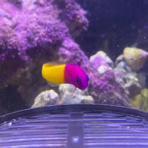 海水魚入荷‼️の画像