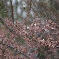 やっと桜が咲き出した、コロナが無けりゃ、のどかな春