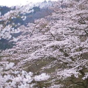 「桜始めて開く」の画像