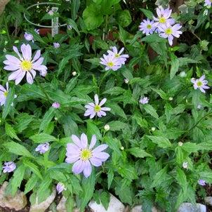 庭の花、クリーニングやさんの画像