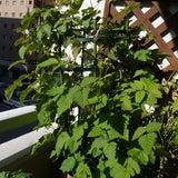 ブラックベリーが開花中です♪の記事画像