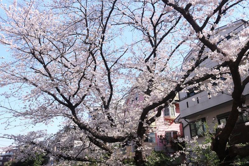 通勤途中で見る、2本大きな桜の木が並んでいる方の片方。いつも観察枝として撮影している桜。高さもかなりものがある。