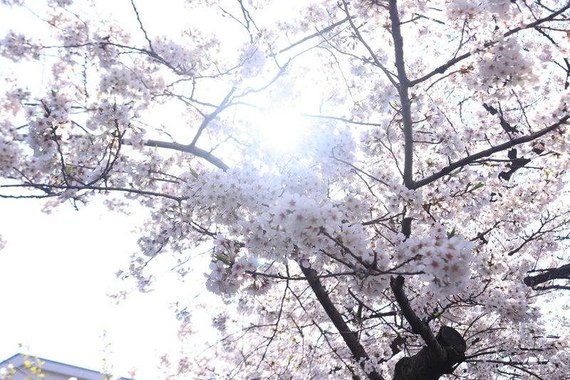 桜の花の先に陽射しが見えている様子