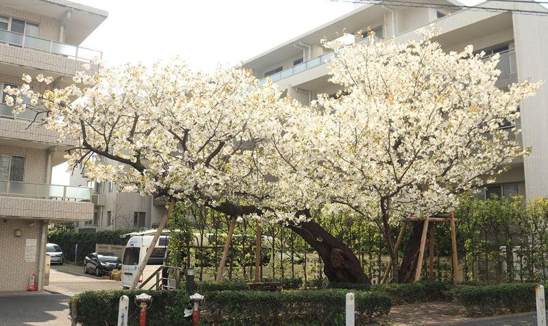 職場の正面の桜。白っぽい花で大島桜ではないかと思っている