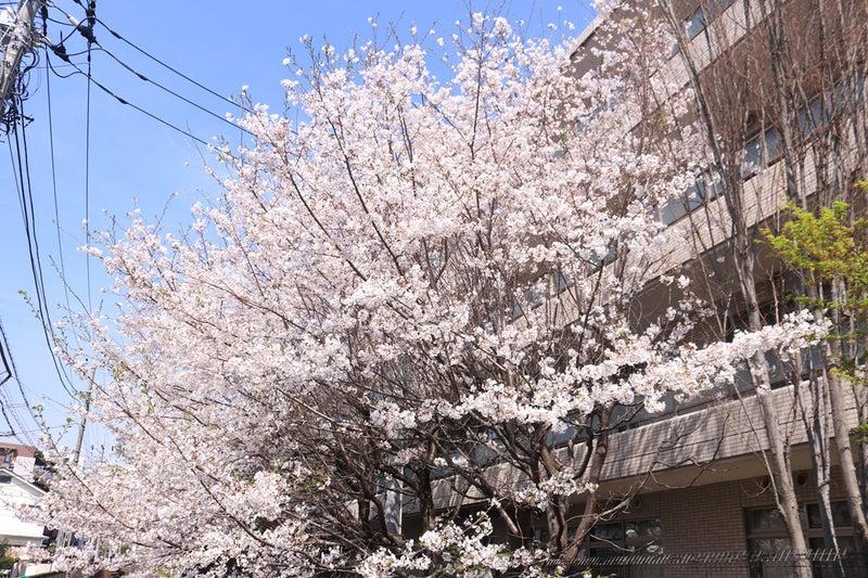 職場の裏の桜。枝が結構まばらっぽく見えるのに、咲いて満開になると結構ぶわっと豊満な様子になる