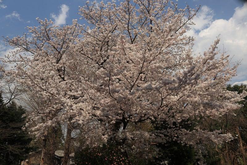 玉川大師の桜を正面から撮った様子。一面が桜の花という感じになる