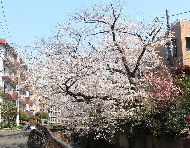 出勤途中に見ている桜。3月26日撮影の満開の様子。