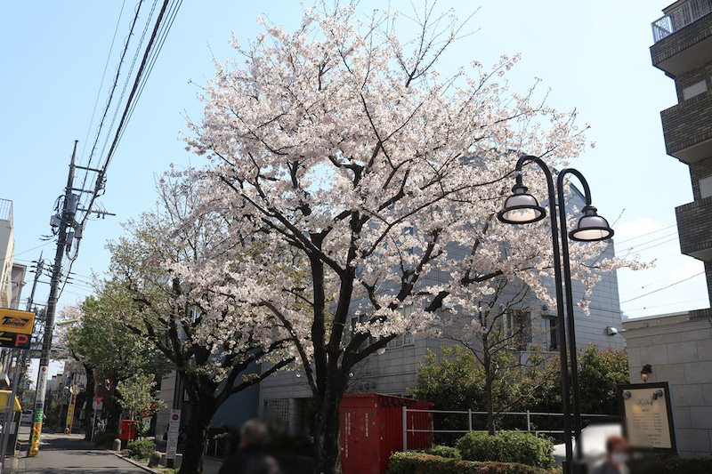 二子玉川商店街入口の花みずき通りの桜