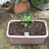 夏野菜へ植え替え まずはパプリカの画像