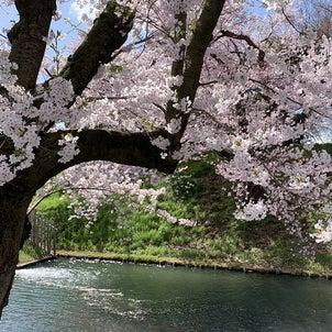 桜の季節の弘前城の画像