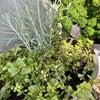 料理に欠かせないハーブは植えておくと便利ですよ~Fromボナペティ~の画像