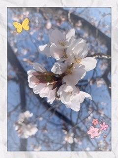 桜が咲いてきました☆