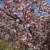 散歩道の、八重桜並木の画像