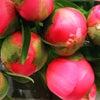 Pivoines de HYERES 南仏イエールは芍薬の花農家が沢山あります。の画像