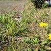 草むしりでお茶づくり♪の画像