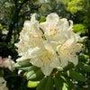 石楠花の画像