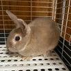 ミニウサギ販売致しますオープン記念価格4400税込