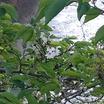 今朝の生田川の桜