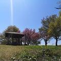 鮫ヶ尾城跡八重桜満開