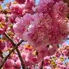 桜の花びらが落ちてしまわぬうちに桜しごとの画像