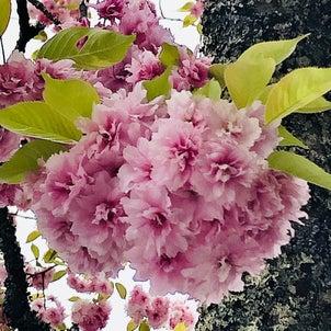 鹽竈桜の画像