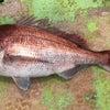 真鯛 たこ 根魚の画像