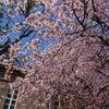 桜とアラレの画像