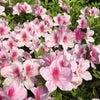 光蔵寺花だより 西洋皐月・アザレアの花の画像