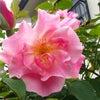 今年は早い・・・薔薇の季節の画像