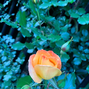 バラの季節がやってきましたの画像