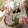 うさぎの耳のような手触りの葉っぱ❤️ 珍しい植物「断崖の女王シニンギア」の画像