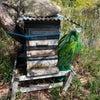 設置したミツバチの巣箱2号機に異変がの画像