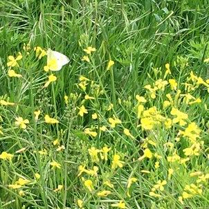 蝶々と菜の花の画像