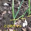 簡単に育つ野菜の代表格 【ネギ】③の画像