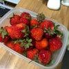 エースファームで今年も大量にイチゴの収穫です。の画像