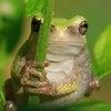 カエルの歌と小さな手の画像