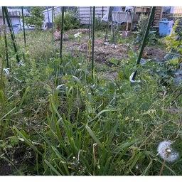 画像 家庭菜園の野菜でヒラメイタ の記事より 1つ目