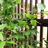 交野市 ベランダ手すりを京風千本格子へ取替え、お庭を楽しむベランダ庭園の画像