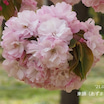 撮り切った(^^♪弘前公園の桜品種シリーズ最終章
