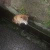 用水路で力尽きていた柴犬を保護の画像