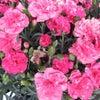 母の日にお花のプレゼントは如何でしょうか?の画像