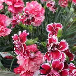 画像 母の日にお花のプレゼントは如何でしょうか? の記事より 2つ目