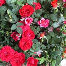 画像 母の日にお花のプレゼントは如何でしょうか? の記事より 3つ目