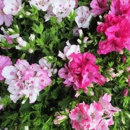 画像 母の日にお花のプレゼントは如何でしょうか? の記事より 4つ目