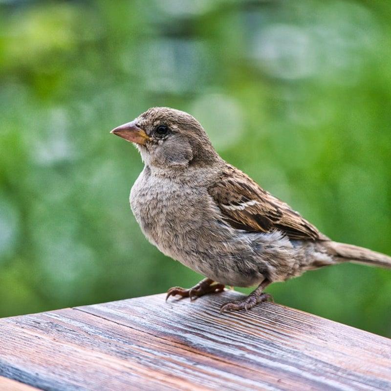 スピリチュアル 雀の鳴き声 鳥が来る家って風水的にどう?ベランダに鳥が寄ってくるのは吉?凶?