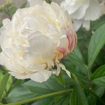 虫に喰われた芍薬の花はより鮮やかに咲き乱れる。
