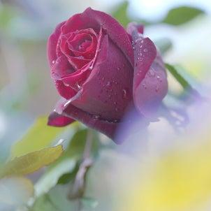 赤い薔薇~My Gardenの画像