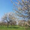 プラハ郊外の桜の画像